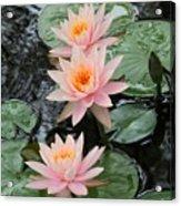 Water Lily Trio Acrylic Print by Sabrina L Ryan
