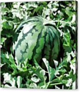 Waterelons In A Vegetable Garden Acrylic Print by Lanjee Chee