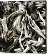 Weathered Roots - Sitka Spruce Tree Hoh Rain Forest Olympic National Park Wa Acrylic Print by Christine Till