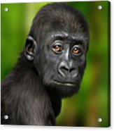 Western Lowland Gorilla Baby Acrylic Print by Julie L Hoddinott