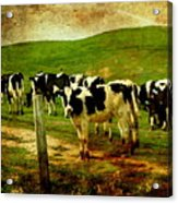 When The Cows Come Home . Photoart Acrylic Print by Wingsdomain Art and Photography