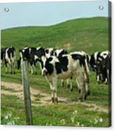 When The Cows Come Home Acrylic Print by Wingsdomain Art and Photography