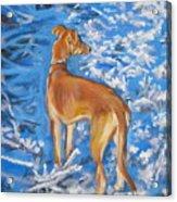 Whippet Acrylic Print by Lee Ann Shepard
