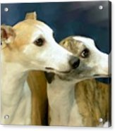Whippet Watching Acrylic Print by Maxine Bochnia
