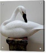 Whistling Tundra Swan Preening Acrylic Print by Robert G Kerr