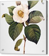 White Camellia Acrylic Print by Granger