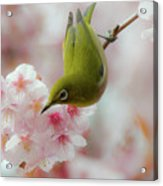 White-eye And Cherry Blossoms Acrylic Print by I love Photo and Apple.