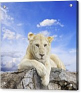 White Lion Acrylic Print by Anek Suwannaphoom