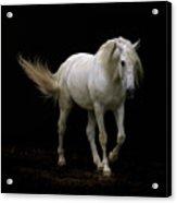 White Lusitano Horse Walking Acrylic Print by Christiana Stawski