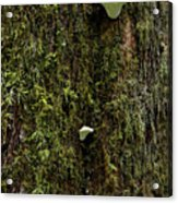 White Mushrooms - Quinault Temperate Rain Forest - Olympic Peninsula Wa Acrylic Print by Christine Till