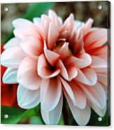 White Red Flower Acrylic Print by Jame Hayes