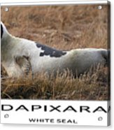 White Seal  Acrylic Print by Dapixara Art