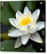White Water Lily And Bud Acrylic Print by Susan Isakson