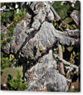Whitebark Pine Tree - Iconic Endangered Keystone Species Acrylic Print by Christine Till
