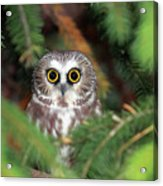 Wild Northern Saw-whet Owl Acrylic Print by Mlorenzphotography
