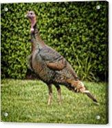 Wild Turkey Acrylic Print by Kelley King