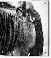 Wildebeest Acrylic Print by Adam Romanowicz