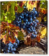 Wine Grapes Napa Valley Acrylic Print by Garry Gay