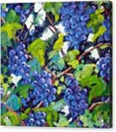 Wine On The Vine Acrylic Print by Richard T Pranke