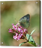 Wings And Petals Acrylic Print by Betty LaRue