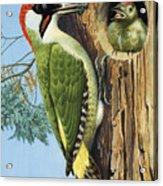 Woodpecker Acrylic Print by RB Davis