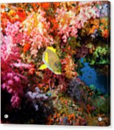 Yellow Banded Sweetlip Fish And Coral Acrylic Print by Beverly Factor