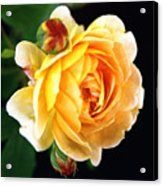 Yellow Rose Acrylic Print by Paul  Trunk