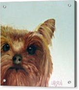 Yorkshire Terrier Acrylic Print by Dick Larsen