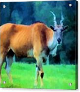 Young Eland Bull Acrylic Print by Jan Amiss Photography