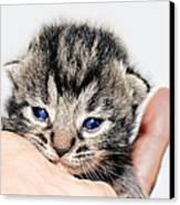 Kitten In A Hand Canvas Print by Susan Leggett