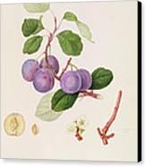 La Royale Plum Canvas Print by William Hooker