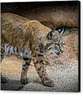 Bobcat Canvas Print by Elaine Malott