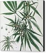Cannabis  Canvas Print by Elizabeth Blackwell