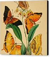 Chinese Butterflies 1847 Canvas Print by Philip Ralley
