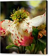 Cranberry Dogwoods Canvas Print by Karen Wiles
