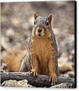 Eastern Fox Squirrel Canvas Print by Brandon Alms