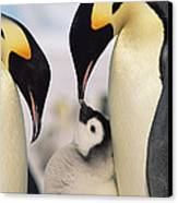 Emperor Penguin Parents With Chick Canvas Print by Konrad Wothe