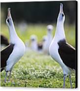 Laysan Albatross Courtship Dance Hawaii Canvas Print by Tui De Roy