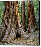 Mariposa Grove Canvas Print by Bill Gallagher