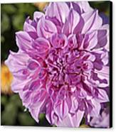 Pink Dahlia Canvas Print by Peter French