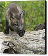 Red Fox Kit Canvas Print by Sandra Bronstein