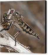 Robber Fly And Prey Canvas Print by Science Photo Library