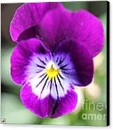 Viola Named Sorbet Plum Velvet Jump-up Canvas Print by J McCombie