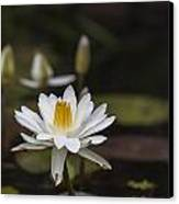 Water Lilly 6 Canvas Print by Charles Warren
