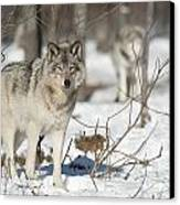 Timber Wolf Pictures Canvas Print by Wolves Only