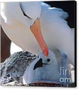 Black-browed Albatross With Chick Canvas Print by Art Wolfe