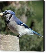 Bluejay Canvas Print by Jim Nelson