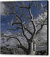Ghost Tree Canvas Print by Debra and Dave Vanderlaan