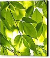 Green Spring Leaves Canvas Print by Elena Elisseeva