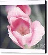 Pink Tulip  Canvas Print by Artist and Photographer Laura Wrede